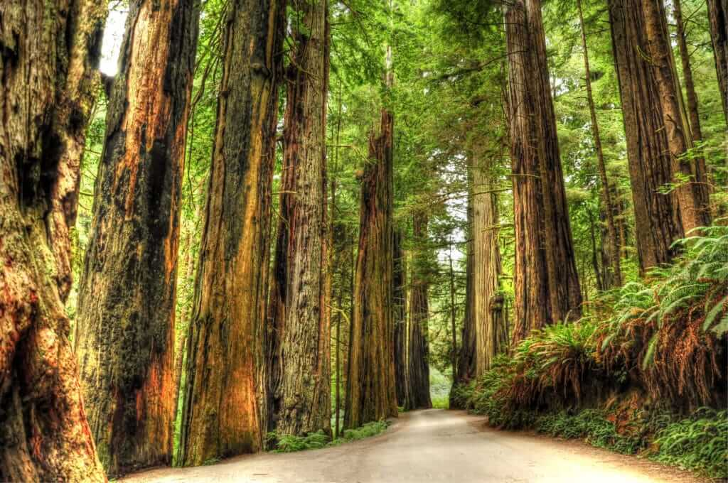 Giant Redwoods with fern and a dirt walking path in the middle of the frame